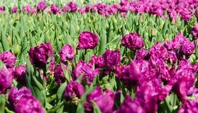 与郁金香的美妙的春天风景 库存照片