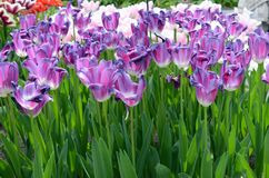 与郁金香的美妙的春天风景 免版税库存图片