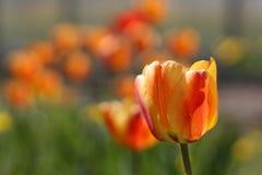 与郁金香背景样式的郁金香花 免版税图库摄影