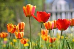 与郁金香背景样式的郁金香花 免版税库存照片