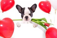 与郁金香花的逗人喜爱的小狗和心脏塑造气球 免版税库存图片