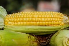 与部分地剥壳的有些耳朵的甜玉米 免版税库存图片