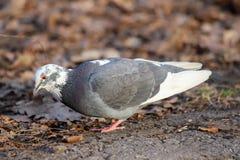 与部分地白色全身羽毛颜色变异的一只共同的鸽子Columba利维亚 图库摄影