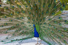 与部署的羽毛的公孔雀在都市公园 免版税库存照片