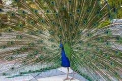 与部署的羽毛的公孔雀在都市公园 免版税图库摄影