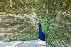 与部署的羽毛的公孔雀在都市公园 免版税库存图片