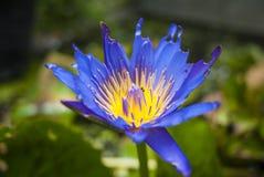 与里面昆虫的紫色莲花 免版税库存照片