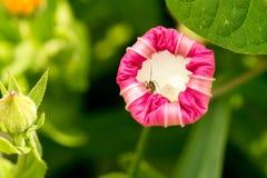 与里面白色玫瑰花瓣和小甲虫的一朵开花的花 在明亮的色的背景 宏指令 免版税图库摄影