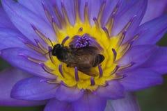 与里面蜂的紫色莲花 免版税库存照片