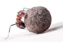 与重的石头的蚂蚁战斗 库存照片