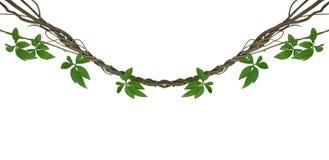 与野生牵牛花lia绿色叶子的扭转的密林藤  免版税库存照片