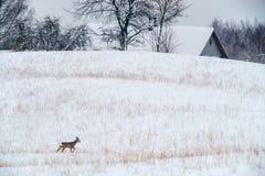 与野生狍的冬天风景 免版税库存图片