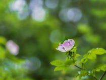 与野生玫瑰的自然场面在日出和defocused背景 库存图片
