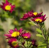 与野生蜂的菊花花对此。 免版税图库摄影