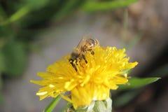 与野生蜂的蒲公英 库存照片