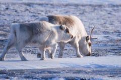 与野生驯鹿的特写镜头风景 冬天斯瓦尔巴特群岛 使用在雪的巨型的鹿角,挪威 野生生物场面自然Spitsberg 免版税库存图片