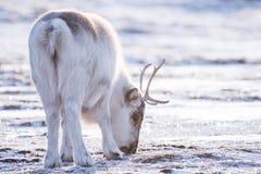 与野生驯鹿的特写镜头风景 冬天斯瓦尔巴特群岛 使用在雪的巨型的鹿角,挪威 野生生物场面自然Spitsberg 免版税库存照片