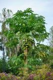 与野花的一棵无花果树 免版税图库摄影