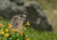 与野花的Alipine土拨鼠 图库摄影
