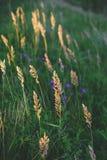 与野草的领域在日落 选择聚焦 免版税库存照片