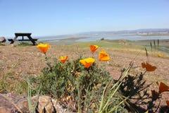 与野餐桌的加利福尼亚金黄鸦片在背景中 免版税库存图片