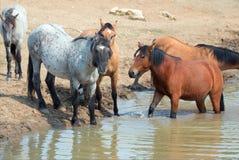 与野马牧群的蓝色软羊皮的公马在waterhole的在普莱尔山野马范围在蒙大拿美国 免版税库存照片