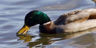 与野鸭游泳的美丽的明信片在湖 库存图片