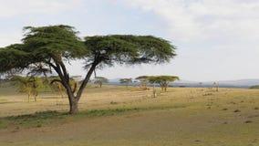 与金合欢树和一个美丽的绿色草甸的非洲大草原 股票录像