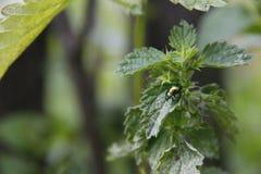 与金属作用颜色的瓢虫在绿色叶子 库存图片