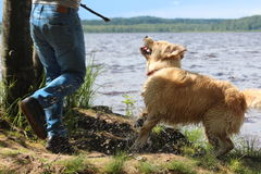与金毛猎犬的年轻人戏剧 免版税库存照片