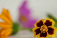 与金盏草和桃红色花的宏观万寿菊花 免版税库存图片