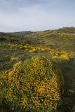 与金雀花densus灌木的风景 图库摄影