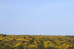 与金雀花densus灌木的风景 免版税图库摄影