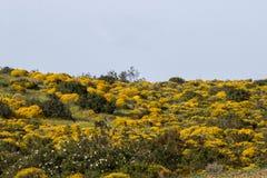 与金雀花densus灌木的风景 库存照片