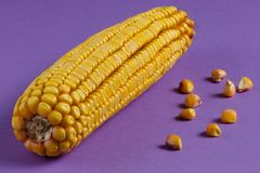 与金黄五谷的明亮的黄色玉米棒子在紫色背景 免版税库存照片