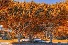 与金黄叶子的相称树 蓝色多云秋天域横向偏僻的天空结构树黄色 免版税库存图片