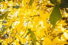 与金黄叶子的秋天树在公园和阳光 免版税库存图片