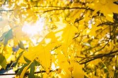与金黄叶子的秋天树在公园和阳光 库存图片