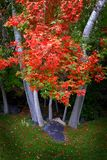 与金黄叶子的秋天树在公园绿草 免版税库存照片