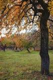与金黄叶子的苹果树在秋天 免版税库存图片