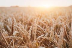与金黄日落光的麦子庄稼领域美好的背景,收获 库存图片