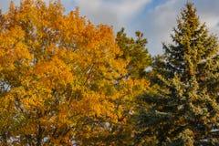 与金黄秋叶的一个巨大的橡树在反对天空蔚蓝的日落 在橡木右边生长高蓝色云杉 库存图片