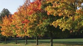 与金黄秋天树和下落的叶子的秋天风景 路标示用秋天树 股票视频