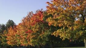 与金黄秋天树和下落的叶子的秋天风景 路标示用秋天树 股票录像