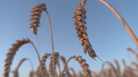 与金黄耳朵特写镜头的麦子 股票录像