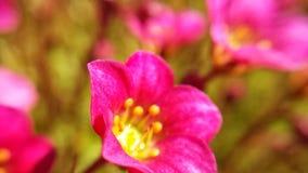 与金黄花粉中心的充满活力的桃红色花 库存图片