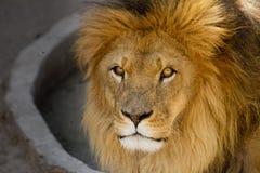 与金黄鬃毛关闭的庄严狮子男 免版税库存照片
