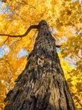 与金黄falll叶子的树 库存图片
