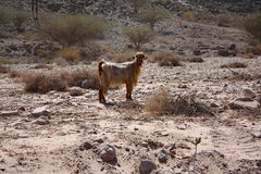 与金黄头发的山羊:旱谷Shab,阿曼 免版税库存图片