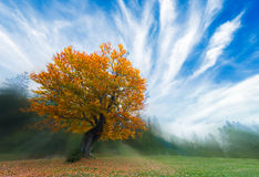与金黄叶子的唯一树 免版税库存图片